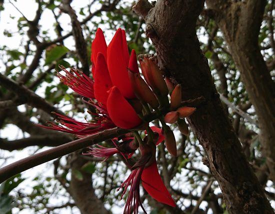 ディゴが咲き始めました。