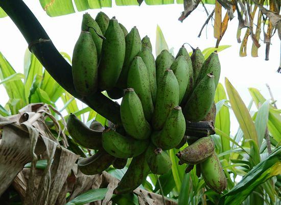 庭のバナナ、熟さないなぁ