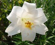 真っ白がきれいなユリの花。