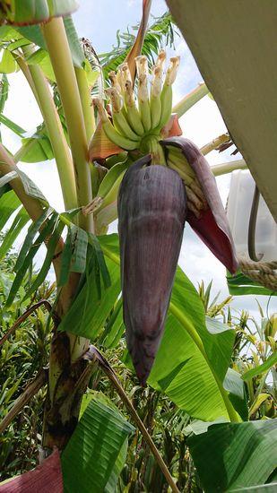 おっ!また一つ、バナナが実をつけています。