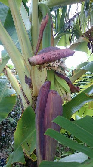 庭のバナナ。