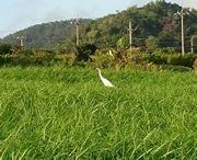 牧草地に真っ白な鳥さんです
