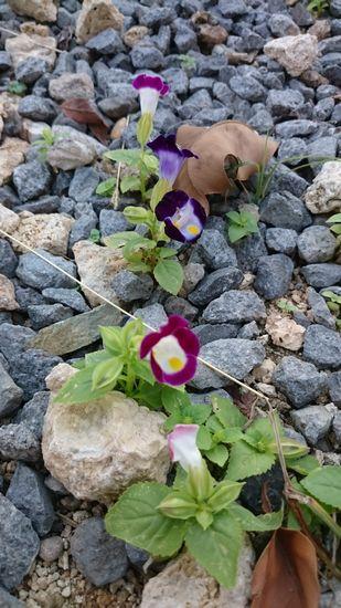 砂利の隙間からお花。