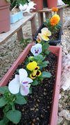 プランターの花、満開です♪