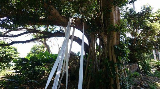 ガジュマルの木は、便利です