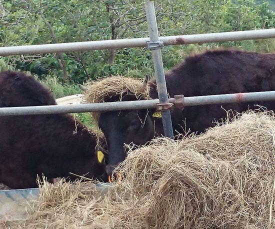 アフロヘアーの牛さん