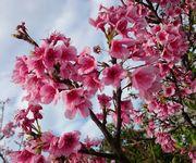 バンナ公園の桜