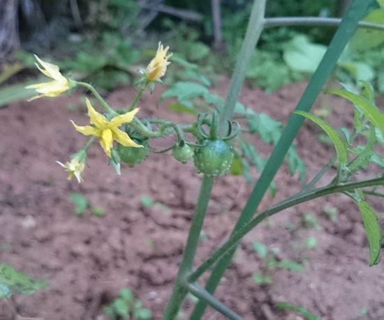 トマト。花が咲いて実をつけています