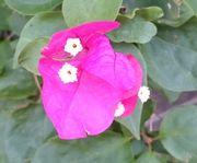 ブーゲンビレア。花が咲いています