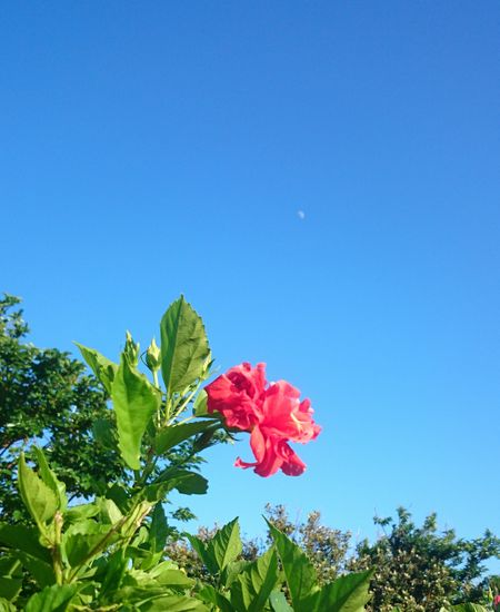 青空にハイビスカスがキレイです
