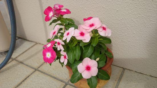 鉢植えしてるお花。満開です