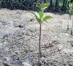 ちびマングローブが成長中です。