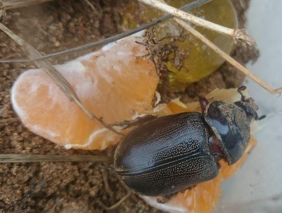 虫かごで飼っているカブトムシ