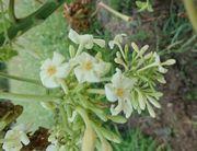 パパイア、かわいいお花です。