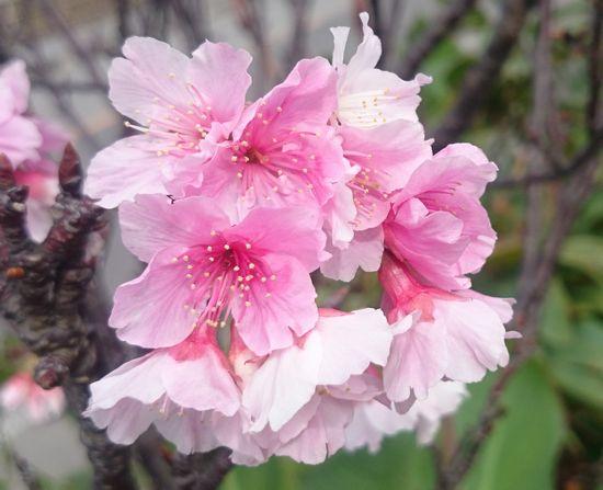 桜がキレイです