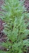 水菜がすくすく成長しています