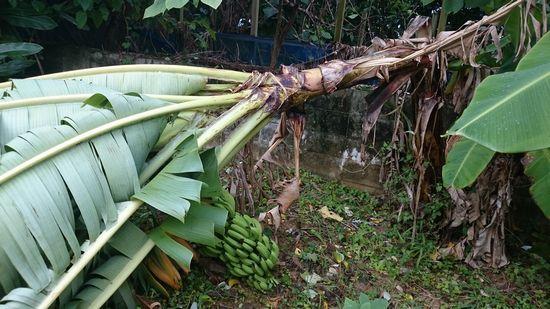 収穫前のバナナの木、倒れています
