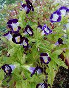 うちの母ちゃんの花