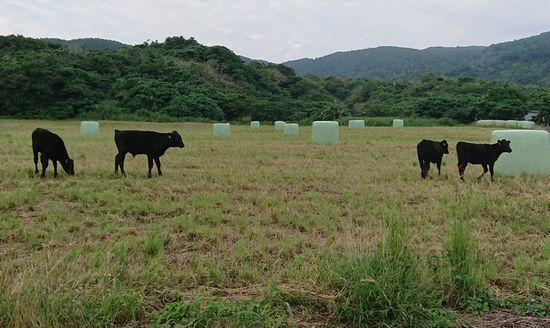 子牛さん遊んでいます。