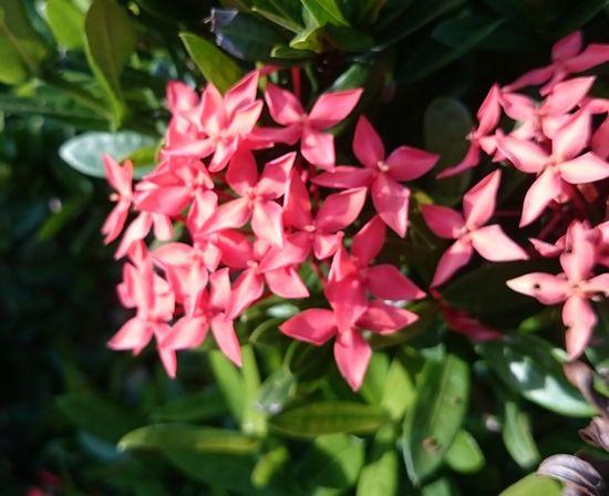 サンダンカの花で。