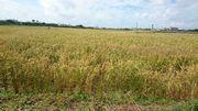 二回目の収穫のお米です。