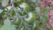 トマト、成長中です。