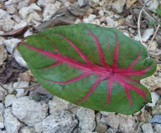 なぜ、葉全体が赤いにならない?