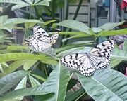 石垣島の市蝶、オオゴマダラ