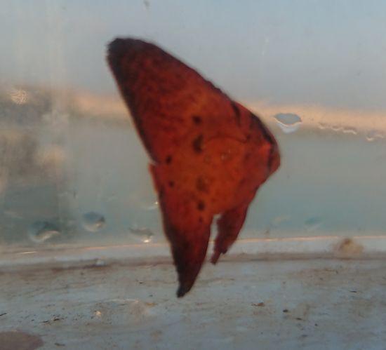 ナンヨウツバメウオの幼魚