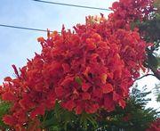 街路樹がキレイに咲いています。