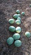 スイカの収穫。