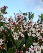 垣根の花!満開です