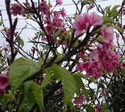 桜、葉っぱが出てきました。