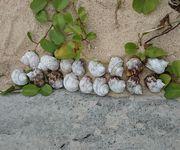 サザエの殻をビーチに
