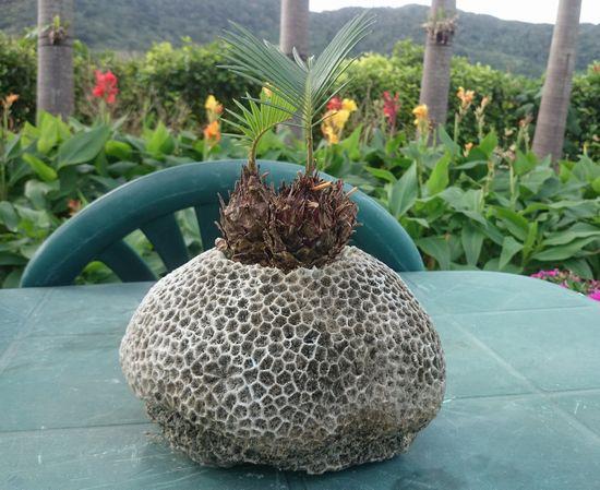 花瓶はサンゴです
