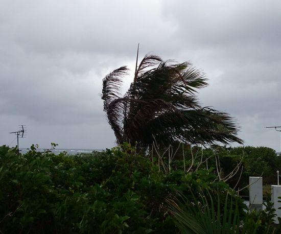 強風です。ヤシ木が風であおられています
