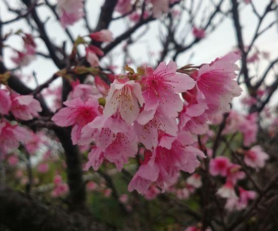 2月ですが、サクラが咲いています