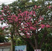 11月の石垣島は花の季節です