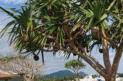 伊野田漁港、アダンの実がいっぱい