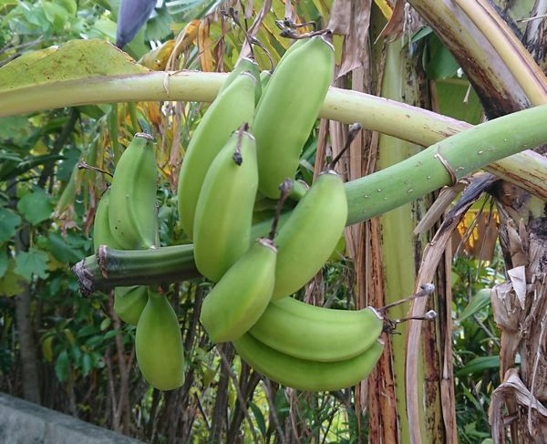 これも島バナナ
