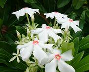 白い花ってかわいいです。
