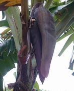 バナナ。また実をつけそうです。