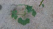 ビーチにウリ系の植物