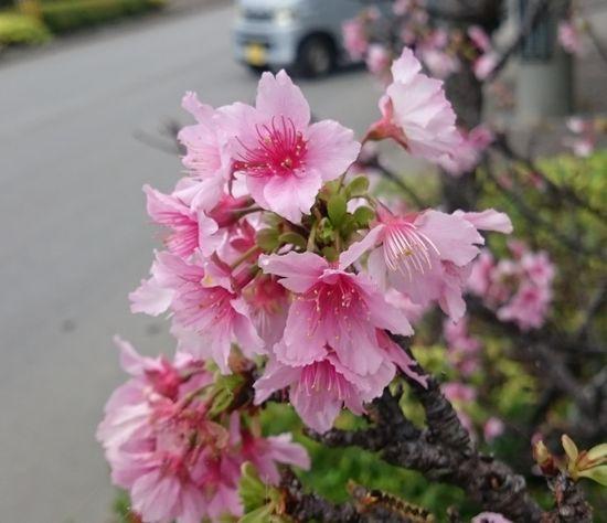 桜、咲いています♪