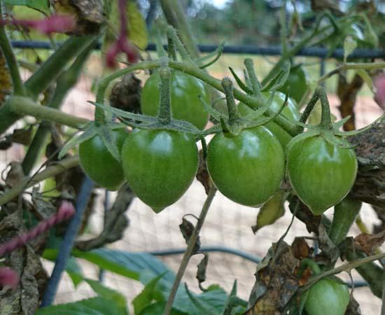 トマト、すくすく成長しています