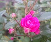 バラが咲いています。