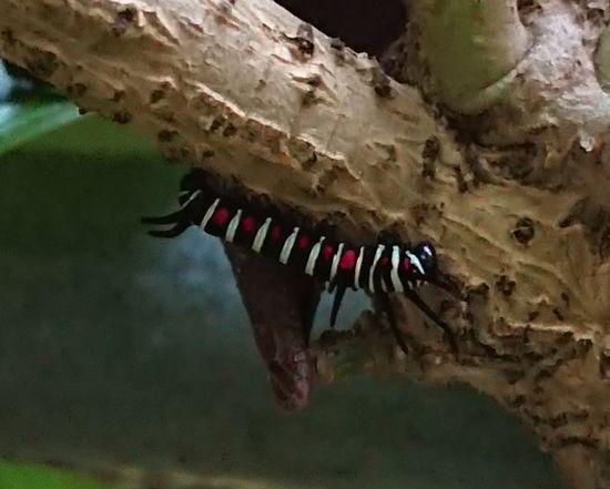 幼虫を発見です