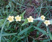 すいかの花が5つ咲きました。
