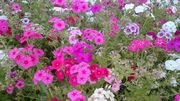 どこでも満開の花