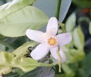 シークワーサの花